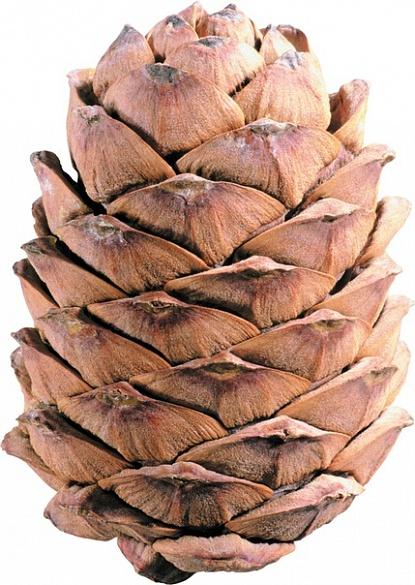Шишка кедровая и орех | Сибирский продукт